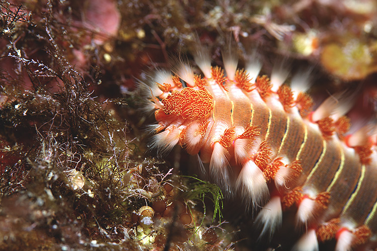 10 Facts Why You Should Keep Bristle Worms In Reef Tank (Photos)