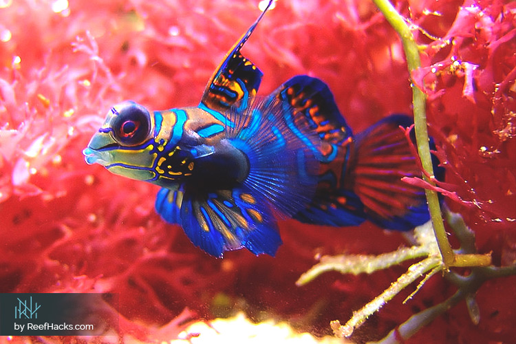 10 tips the ultimate mandarin goby fish care manual with photos