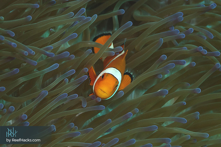 Clownfish Care Amazing Facts And Care Tips With Pictures